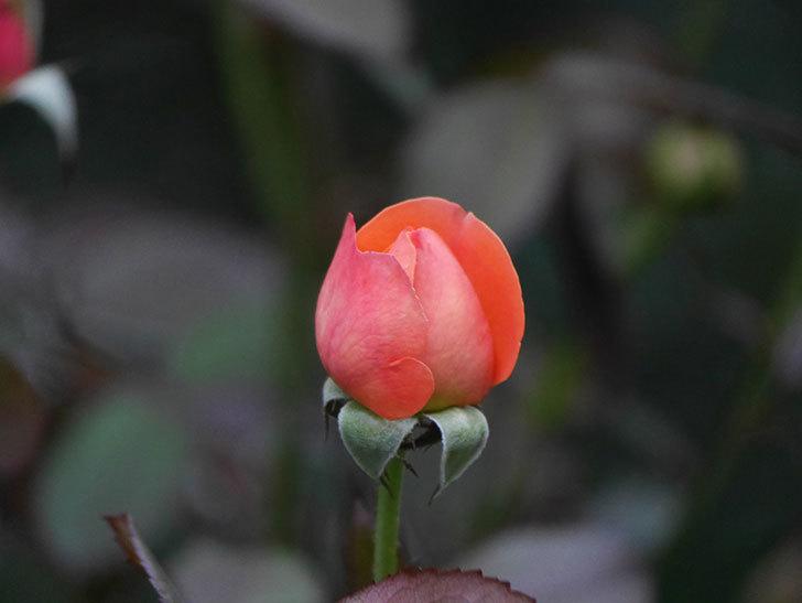 レディ・エマ・ハミルトン(Lady Emma Hamilton)の2番花がまた咲いた。木立バラ。2020年-010.jpg