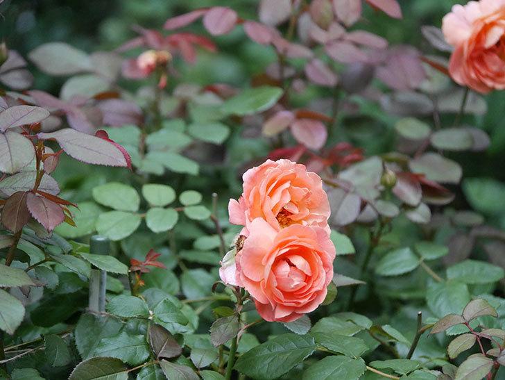 レディ・エマ・ハミルトン(Lady Emma Hamilton)の2番花がまた咲いた。木立バラ。2020年-011.jpg