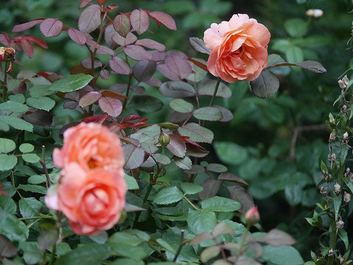 レディ・エマ・ハミルトン(Lady Emma Hamilton)の2番花がまた咲いた。木立バラ。2020年-012.jpg