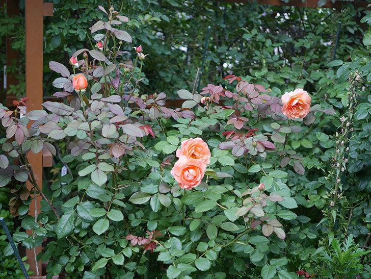 レディ・エマ・ハミルトン(Lady Emma Hamilton)の2番花がまた咲いた。木立バラ。2020年-013.jpg