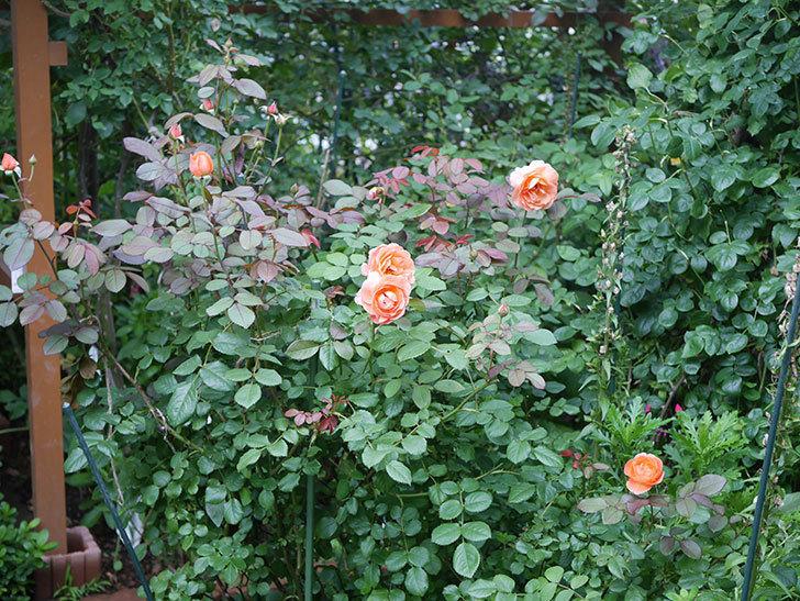 レディ・エマ・ハミルトン(Lady Emma Hamilton)の2番花がまた咲いた。木立バラ。2020年-014.jpg
