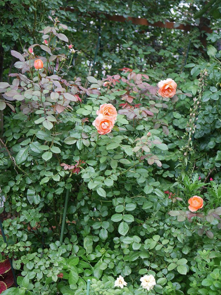 レディ・エマ・ハミルトン(Lady Emma Hamilton)の2番花がまた咲いた。木立バラ。2020年-015.jpg