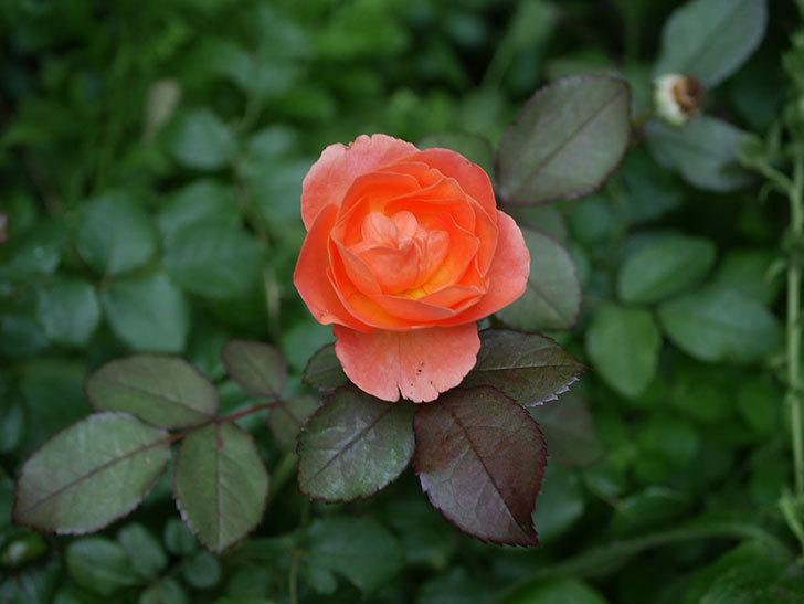 レディ・エマ・ハミルトン(Lady Emma Hamilton)の2番花がまた咲いた。木立バラ。2020年-016.jpg