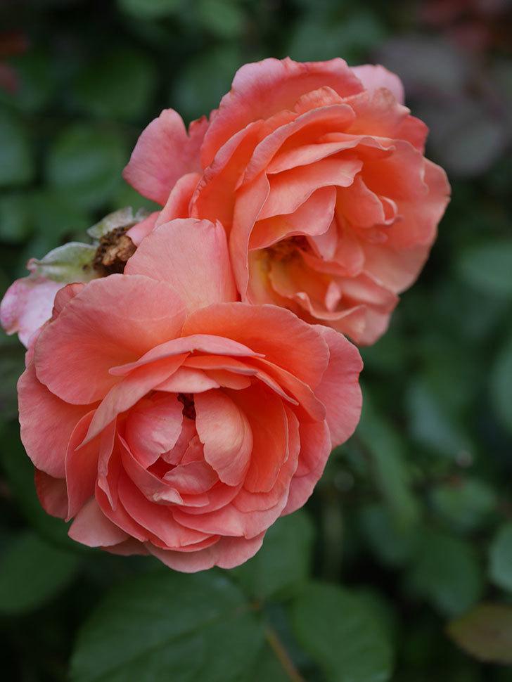 レディ・エマ・ハミルトン(Lady Emma Hamilton)の2番花がまた咲いた。木立バラ。2020年-017.jpg