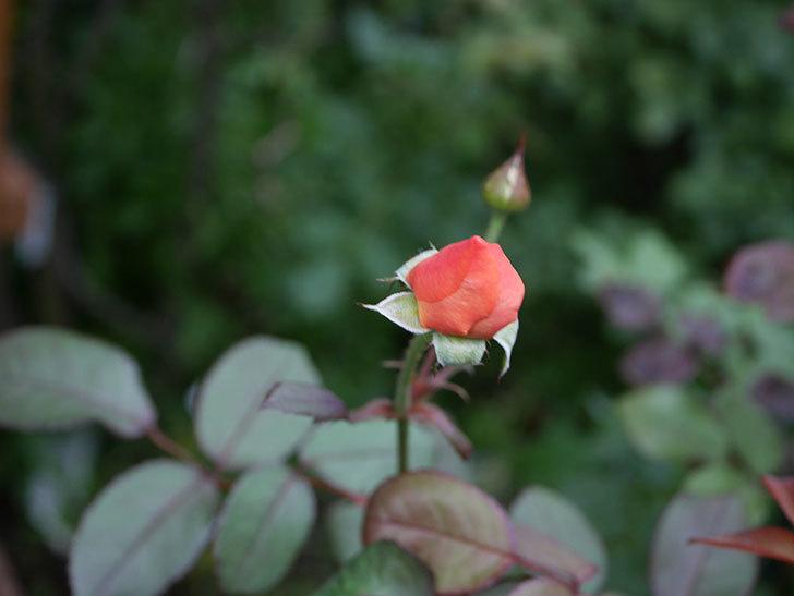 レディ・エマ・ハミルトン(Lady Emma Hamilton)の2番花がまた咲いた。木立バラ。2020年-019.jpg