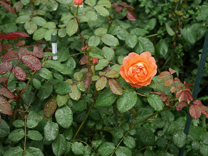 レディ・エマ・ハミルトン(Lady Emma Hamilton)の2番花が咲いた。木立バラ。2020年-001.jpg
