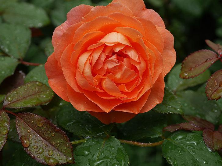 レディ・エマ・ハミルトン(Lady Emma Hamilton)の2番花が咲いた。木立バラ。2020年-002.jpg