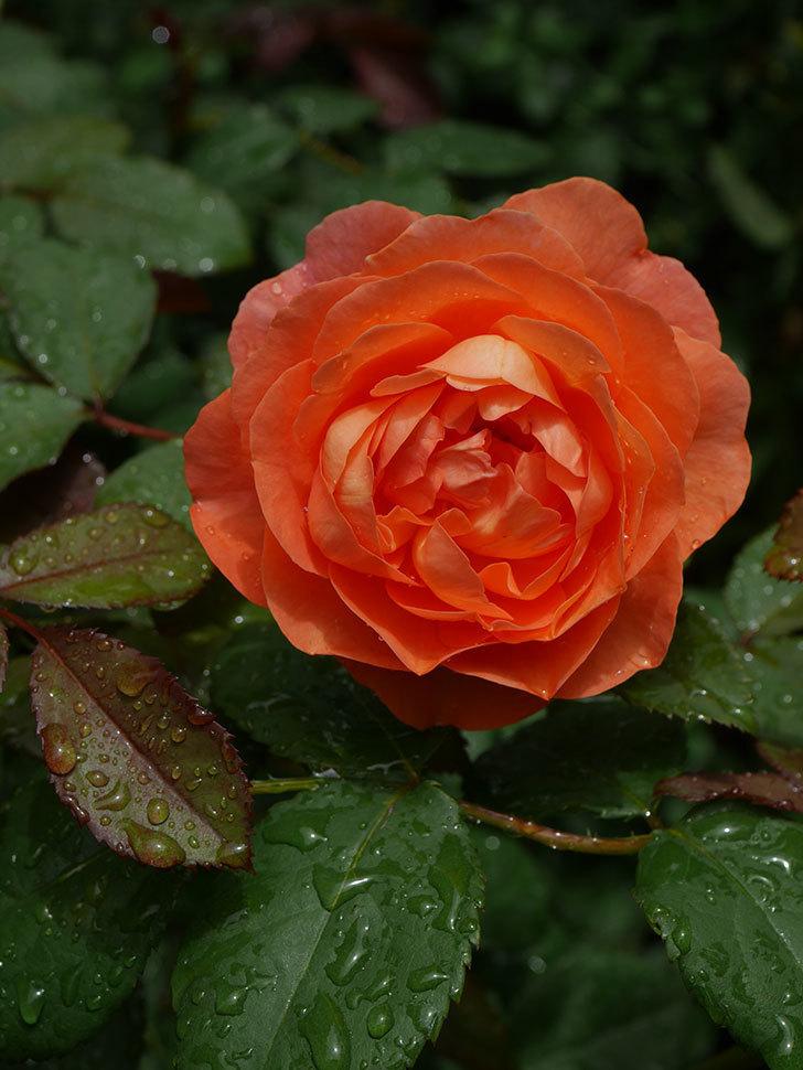 レディ・エマ・ハミルトン(Lady Emma Hamilton)の2番花が咲いた。木立バラ。2020年-003.jpg