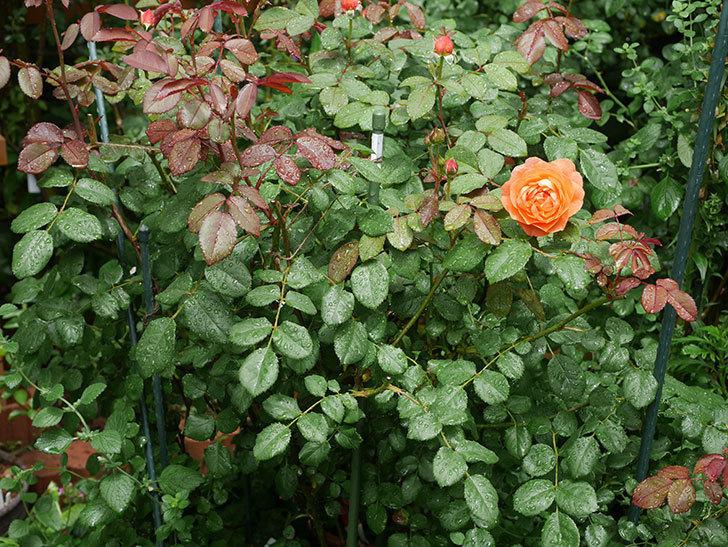 レディ・エマ・ハミルトン(Lady Emma Hamilton)の2番花が咲いた。木立バラ。2020年-004.jpg