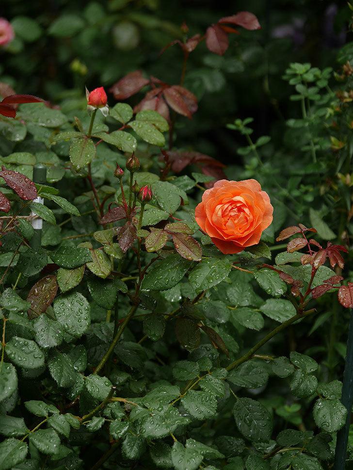 レディ・エマ・ハミルトン(Lady Emma Hamilton)の2番花が咲いた。木立バラ。2020年-006.jpg