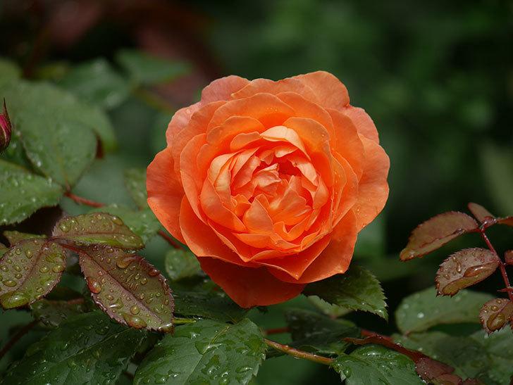 レディ・エマ・ハミルトン(Lady Emma Hamilton)の2番花が咲いた。木立バラ。2020年-007.jpg