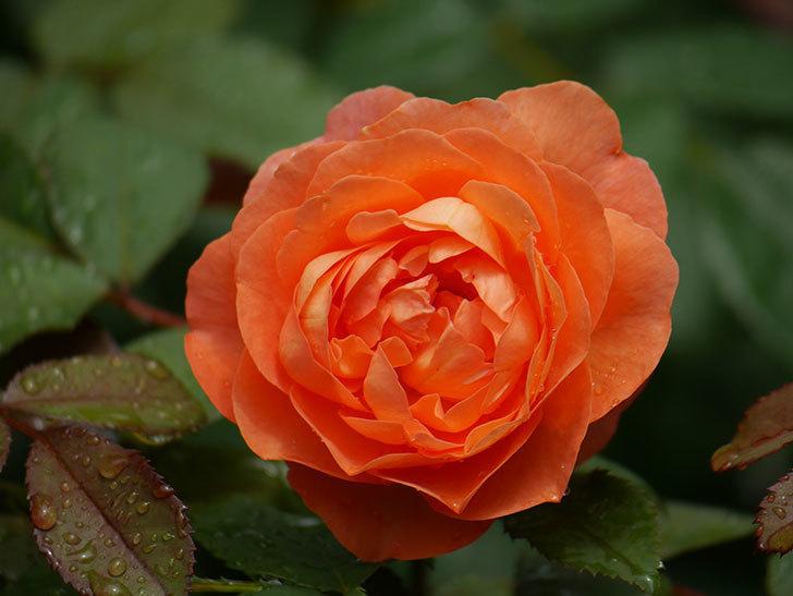 レディ・エマ・ハミルトン(Lady Emma Hamilton)の2番花が咲いた。木立バラ。2020年-008.jpg
