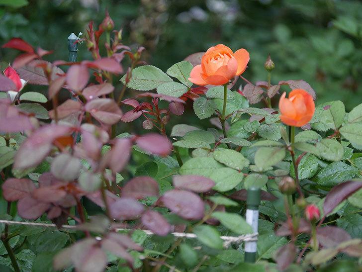 レディ・エマ・ハミルトン(Lady Emma Hamilton)の2番花が咲いた。木立バラ。2020年-009.jpg