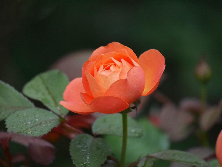 レディ・エマ・ハミルトン(Lady Emma Hamilton)の2番花が咲いた。木立バラ。2020年-011.jpg