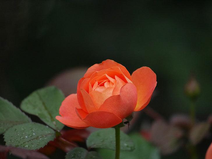レディ・エマ・ハミルトン(Lady Emma Hamilton)の2番花が咲いた。木立バラ。2020年-012.jpg