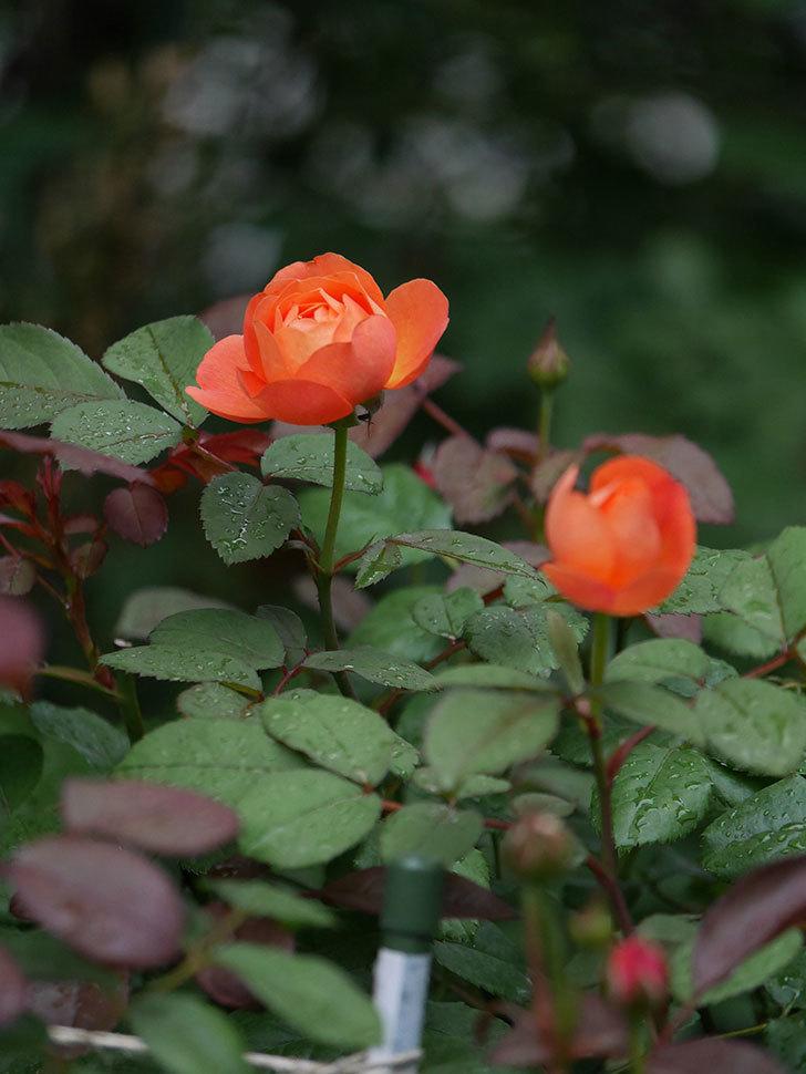 レディ・エマ・ハミルトン(Lady Emma Hamilton)の2番花が咲いた。木立バラ。2020年-013.jpg