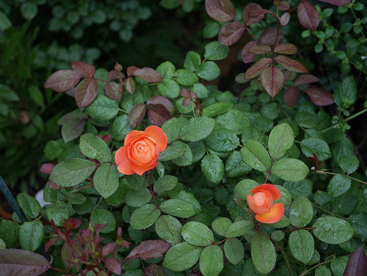 レディ・エマ・ハミルトン(Lady Emma Hamilton)の2番花が咲いた。木立バラ。2020年-015.jpg