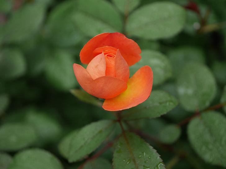 レディ・エマ・ハミルトン(Lady Emma Hamilton)の2番花が咲いた。木立バラ。2020年-016.jpg