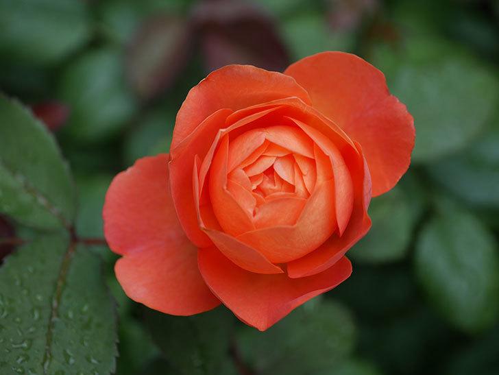 レディ・エマ・ハミルトン(Lady Emma Hamilton)の2番花が咲いた。木立バラ。2020年-018.jpg