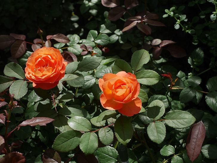 レディ・エマ・ハミルトン(Lady Emma Hamilton)の2番花が咲いた。木立バラ。2020年-019.jpg