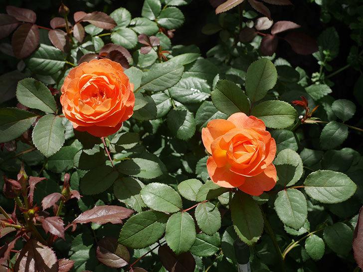 レディ・エマ・ハミルトン(Lady Emma Hamilton)の2番花が咲いた。木立バラ。2020年-020.jpg