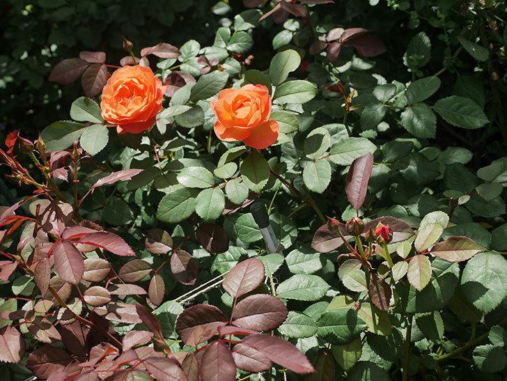 レディ・エマ・ハミルトン(Lady Emma Hamilton)の2番花が咲いた。木立バラ。2020年-021.jpg