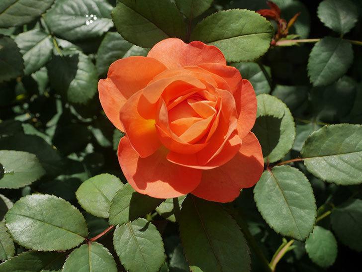 レディ・エマ・ハミルトン(Lady Emma Hamilton)の2番花が咲いた。木立バラ。2020年-022.jpg