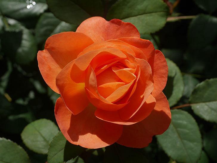 レディ・エマ・ハミルトン(Lady Emma Hamilton)の2番花が咲いた。木立バラ。2020年-023.jpg