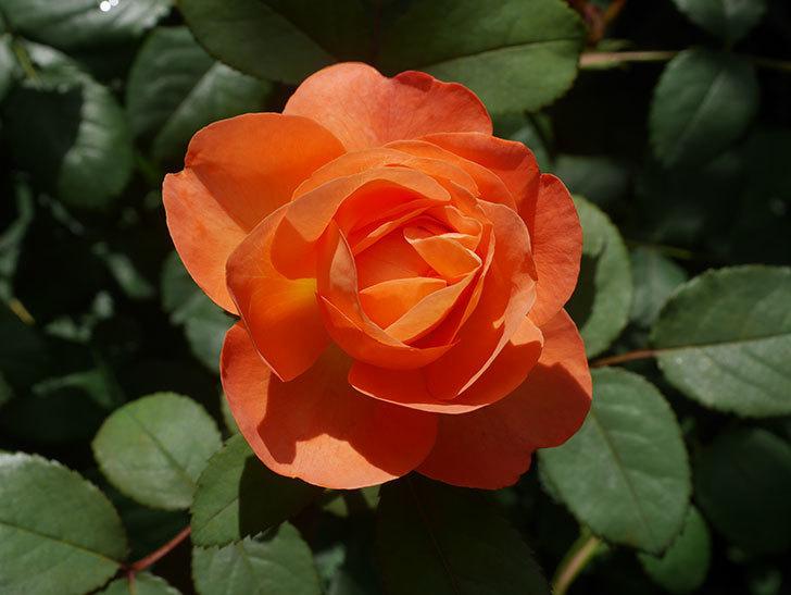 レディ・エマ・ハミルトン(Lady Emma Hamilton)の2番花が咲いた。木立バラ。2020年-024.jpg