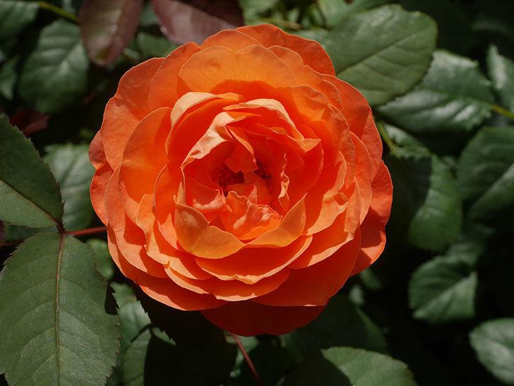 レディ・エマ・ハミルトン(Lady Emma Hamilton)の2番花が咲いた。木立バラ。2020年-025.jpg