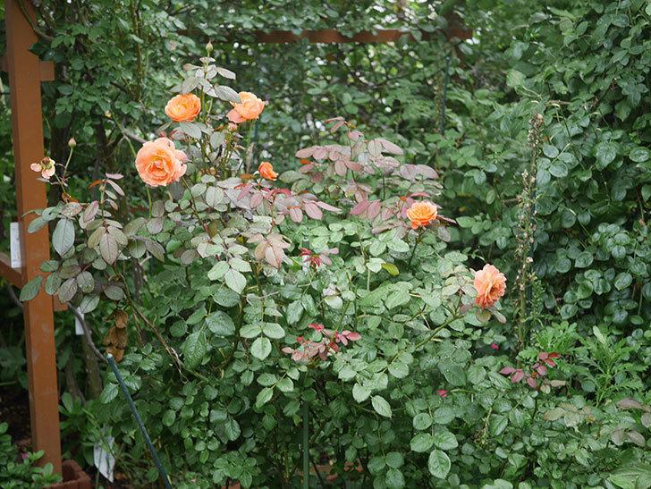 レディ・エマ・ハミルトン(Lady Emma Hamilton)の2番花が増えてきた。木立バラ。2020年-001.jpg