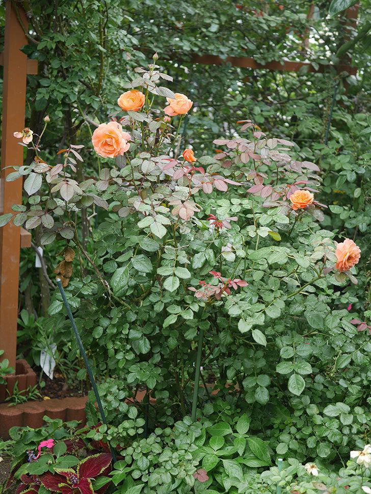 レディ・エマ・ハミルトン(Lady Emma Hamilton)の2番花が増えてきた。木立バラ。2020年-002.jpg