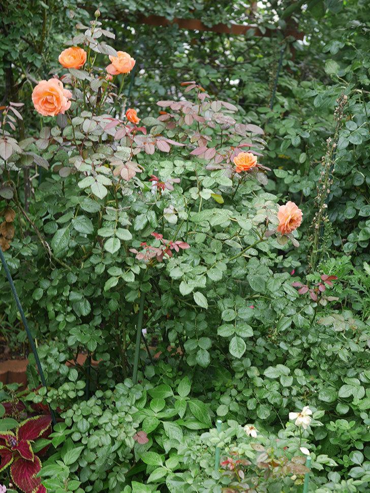 レディ・エマ・ハミルトン(Lady Emma Hamilton)の2番花が増えてきた。木立バラ。2020年-003.jpg