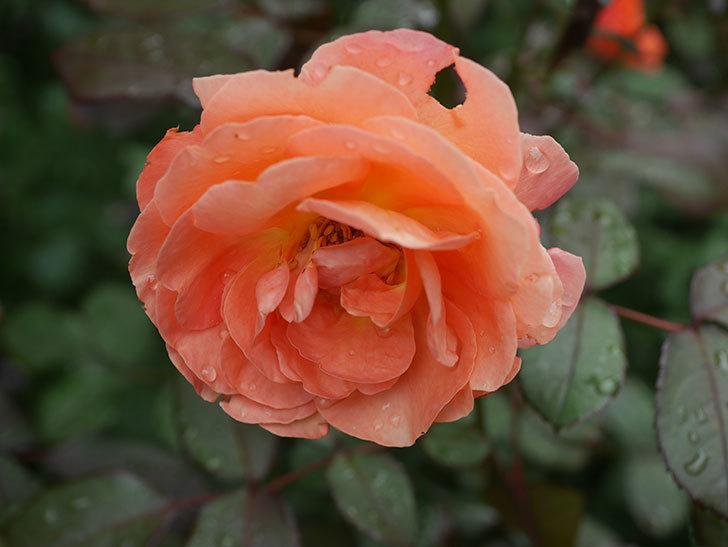 レディ・エマ・ハミルトン(Lady Emma Hamilton)の2番花が増えてきた。木立バラ。2020年-004.jpg