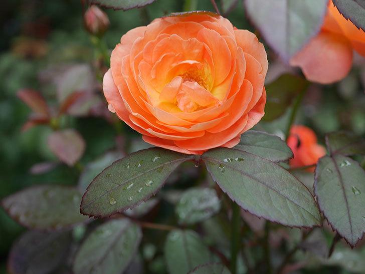 レディ・エマ・ハミルトン(Lady Emma Hamilton)の2番花が増えてきた。木立バラ。2020年-005.jpg