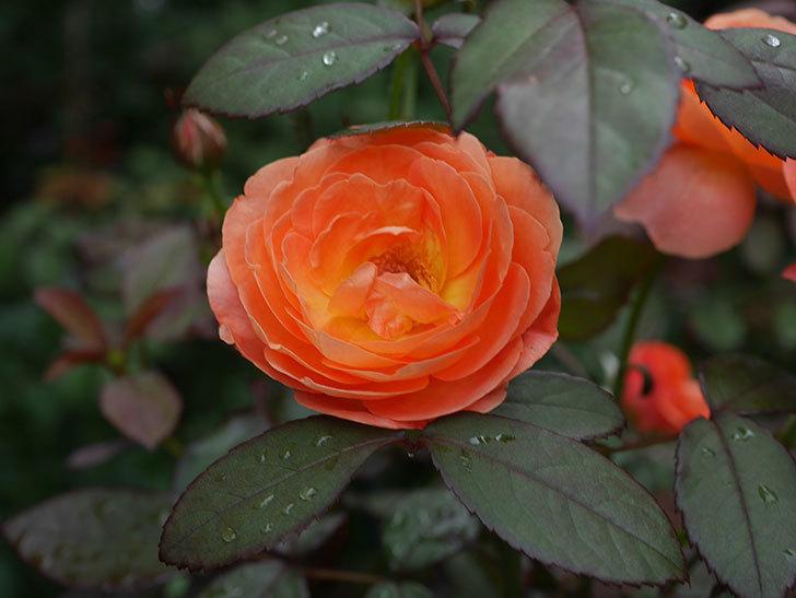レディ・エマ・ハミルトン(Lady Emma Hamilton)の2番花が増えてきた。木立バラ。2020年-006.jpg