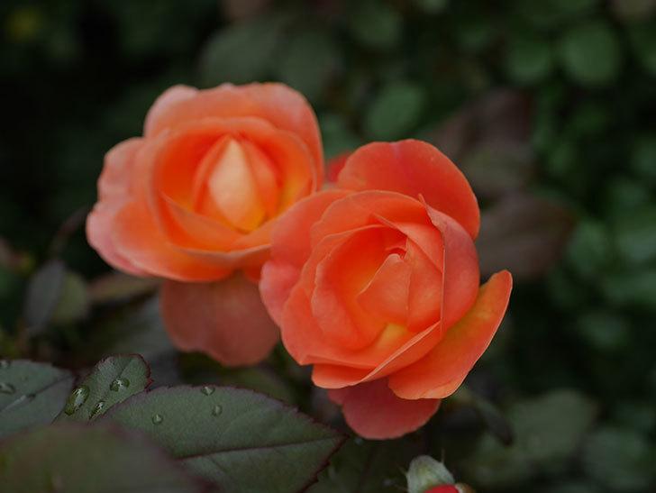 レディ・エマ・ハミルトン(Lady Emma Hamilton)の2番花が増えてきた。木立バラ。2020年-008.jpg