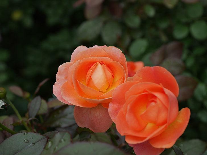 レディ・エマ・ハミルトン(Lady Emma Hamilton)の2番花が増えてきた。木立バラ。2020年-009.jpg