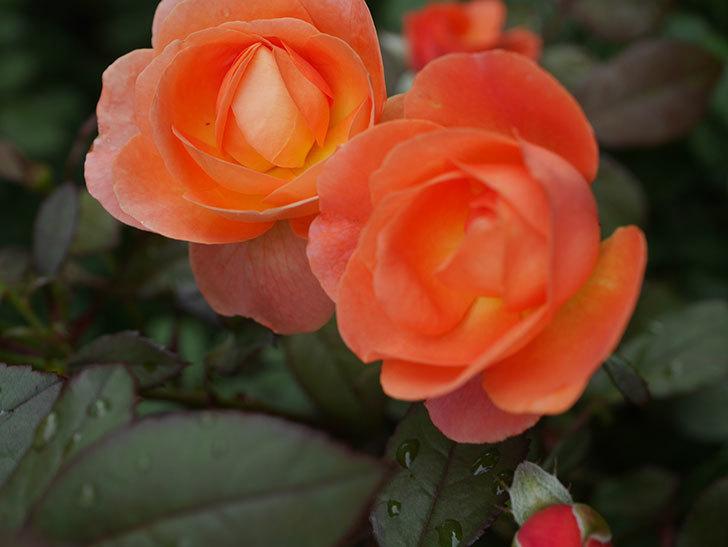 レディ・エマ・ハミルトン(Lady Emma Hamilton)の2番花が増えてきた。木立バラ。2020年-010.jpg