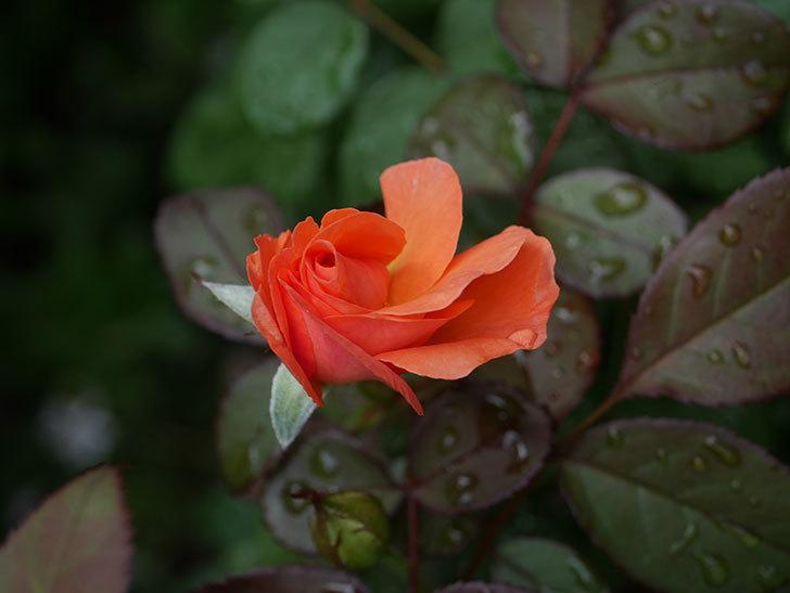 レディ・エマ・ハミルトン(Lady Emma Hamilton)の2番花が増えてきた。木立バラ。2020年-011.jpg