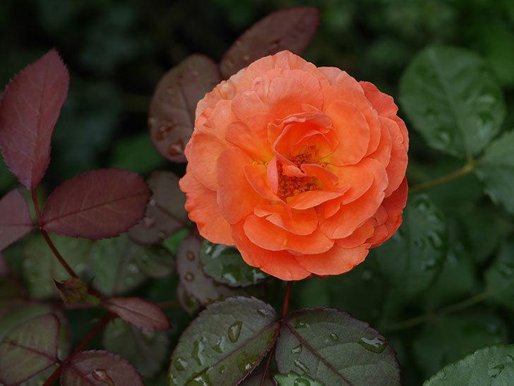 レディ・エマ・ハミルトン(Lady Emma Hamilton)の2番花が増えてきた。木立バラ。2020年-012.jpg