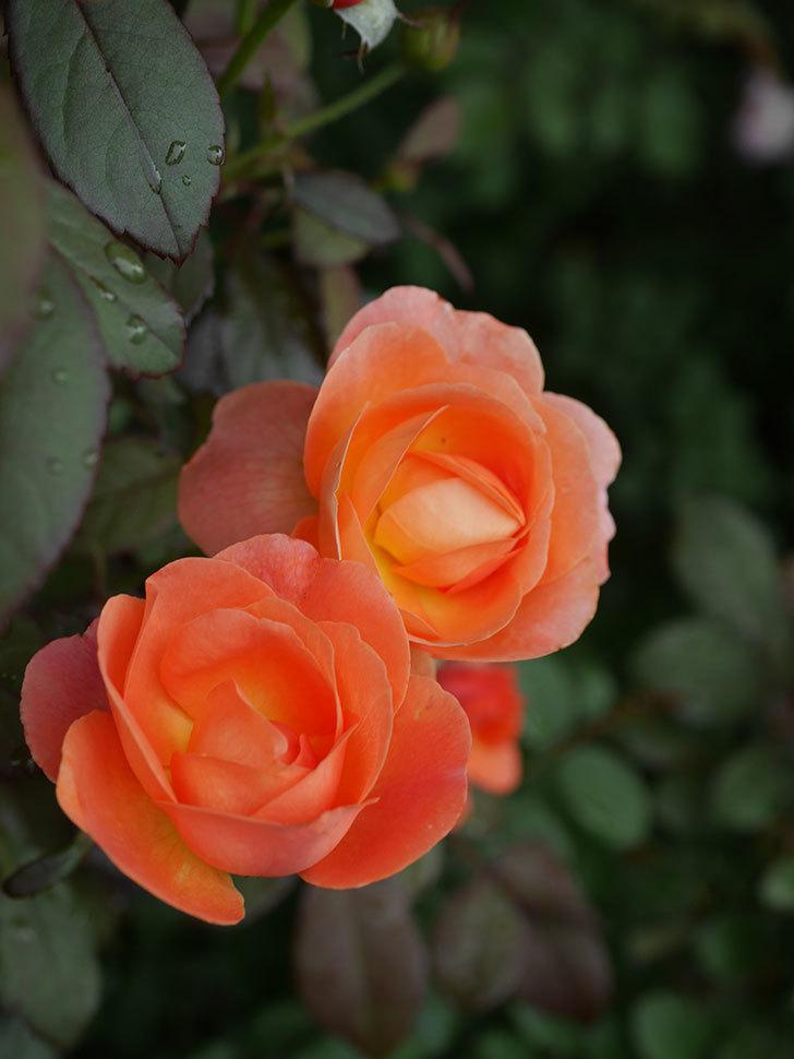 レディ・エマ・ハミルトン(Lady Emma Hamilton)の2番花が増えてきた。木立バラ。2020年-013.jpg
