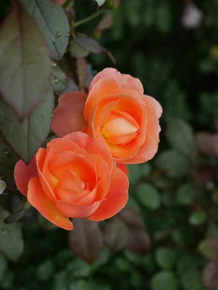 レディ・エマ・ハミルトン(Lady Emma Hamilton)の2番花が増えてきた。木立バラ。2020年-014.jpg