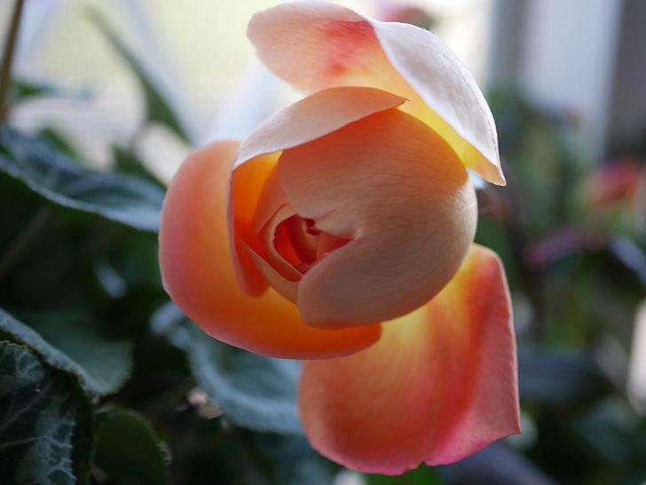 レディ・エマ・ハミルトン(Lady Emma Hamilton)の秋花を切り花にした。木立バラ。2020年-001.jpg