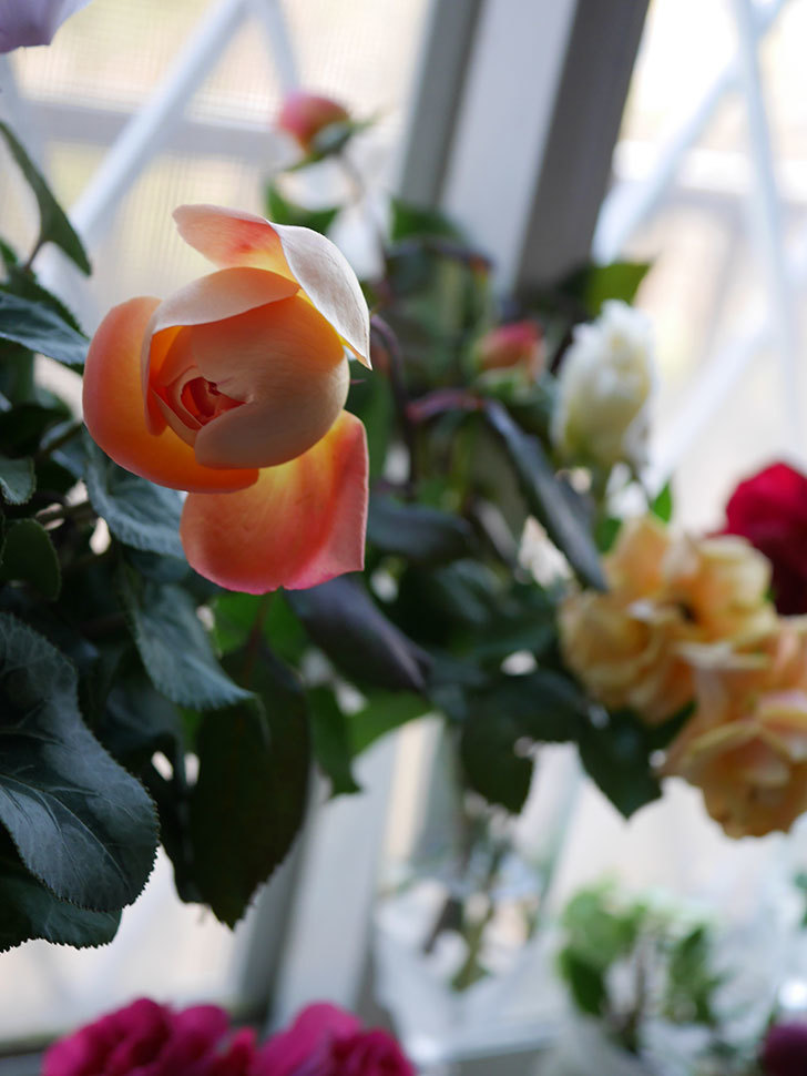 レディ・エマ・ハミルトン(Lady Emma Hamilton)の秋花を切り花にした。木立バラ。2020年-002.jpg