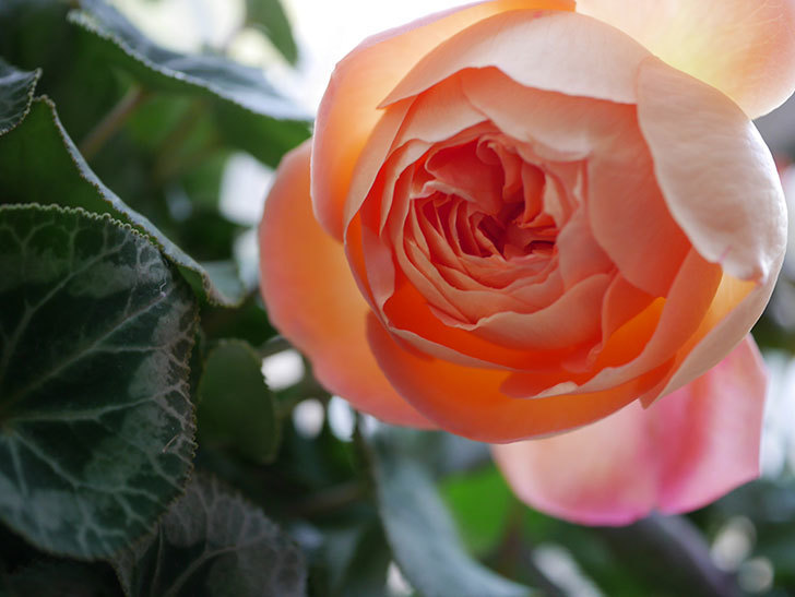 レディ・エマ・ハミルトン(Lady Emma Hamilton)の秋花を切り花にした。木立バラ。2020年-003.jpg