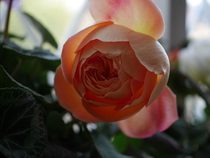 レディ・エマ・ハミルトン(Lady Emma Hamilton)の秋花を切り花にした。木立バラ。2020年-004.jpg
