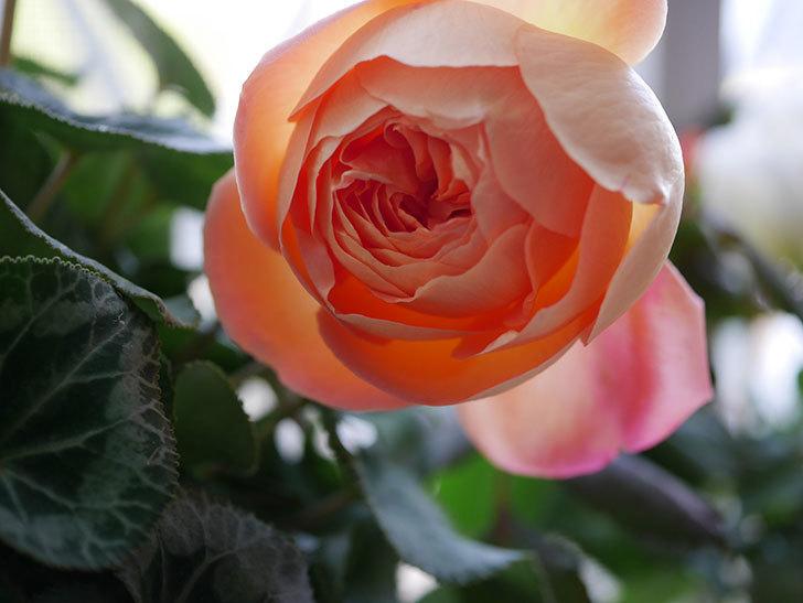 レディ・エマ・ハミルトン(Lady Emma Hamilton)の秋花を切り花にした。木立バラ。2020年-005.jpg