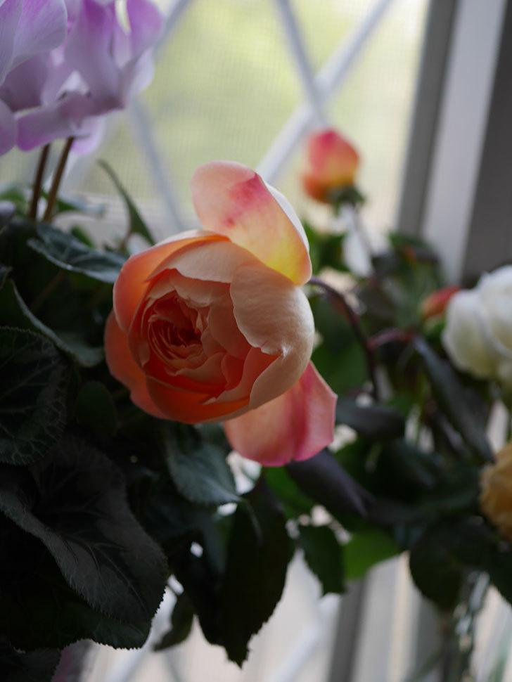 レディ・エマ・ハミルトン(Lady Emma Hamilton)の秋花を切り花にした。木立バラ。2020年-006.jpg