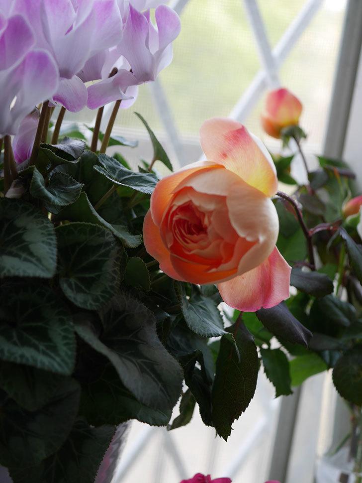 レディ・エマ・ハミルトン(Lady Emma Hamilton)の秋花を切り花にした。木立バラ。2020年-007.jpg